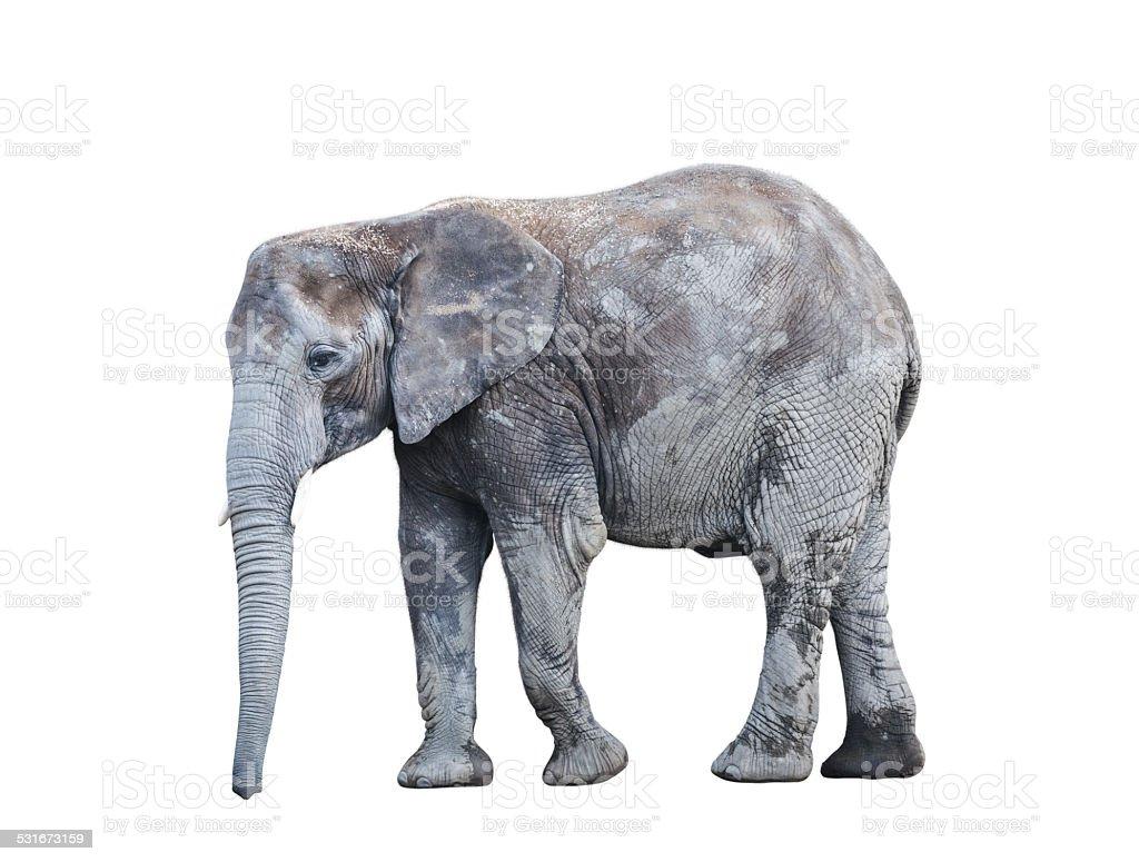 Elephant On White Background stock photo