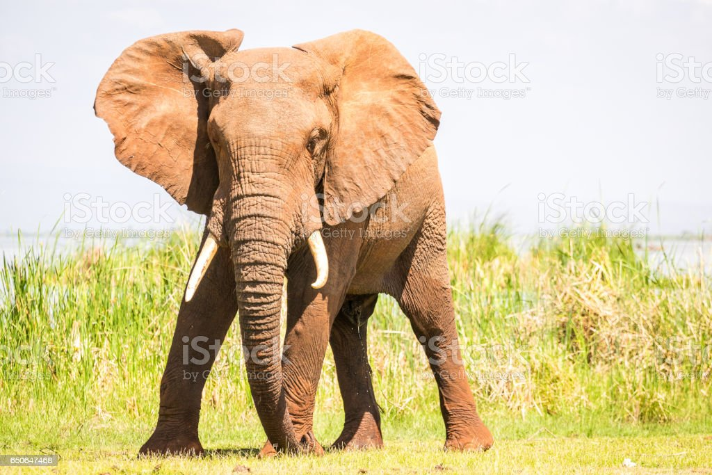 Elephant over Jipe Lake, Kenya stock photo