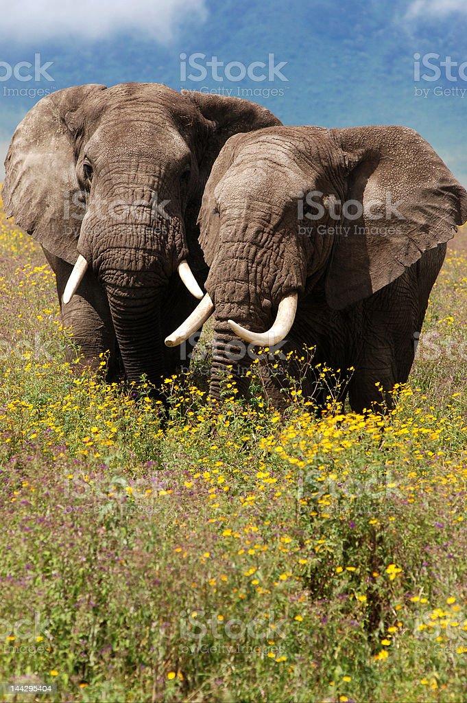 Elephant Pair stock photo