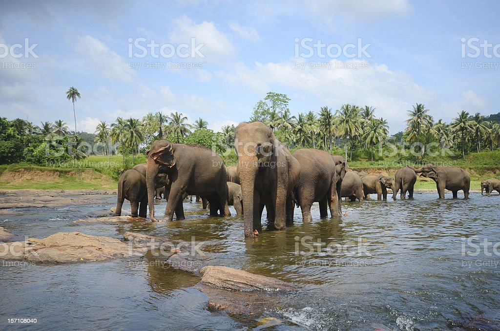 Elephant park in Pinnawala, Sri Lanka royalty-free stock photo