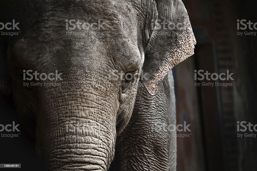 Elephant (Elephas maximus) royalty-free stock photo