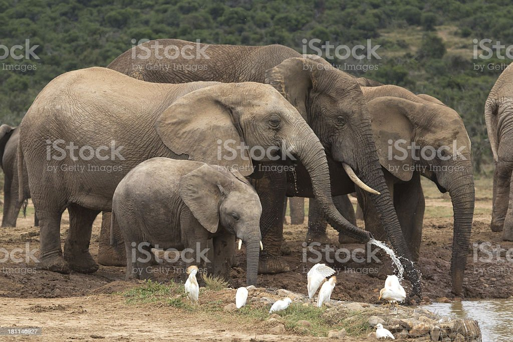 Elephant royalty-free stock photo