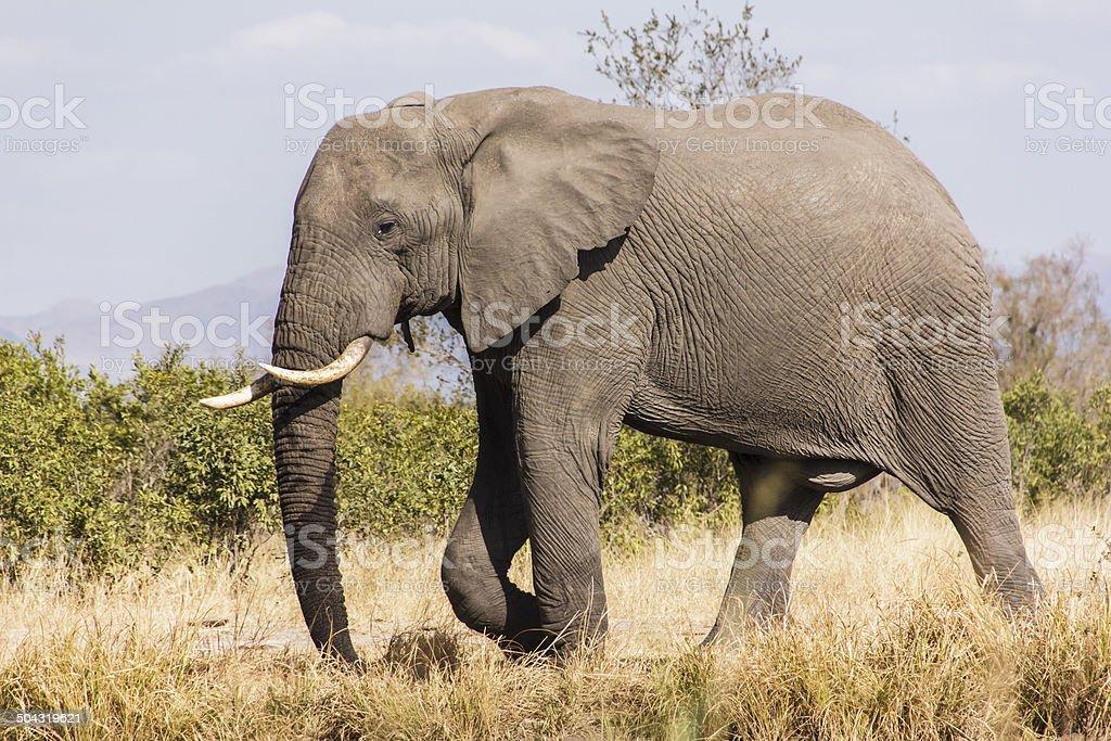 Elephant stock photo