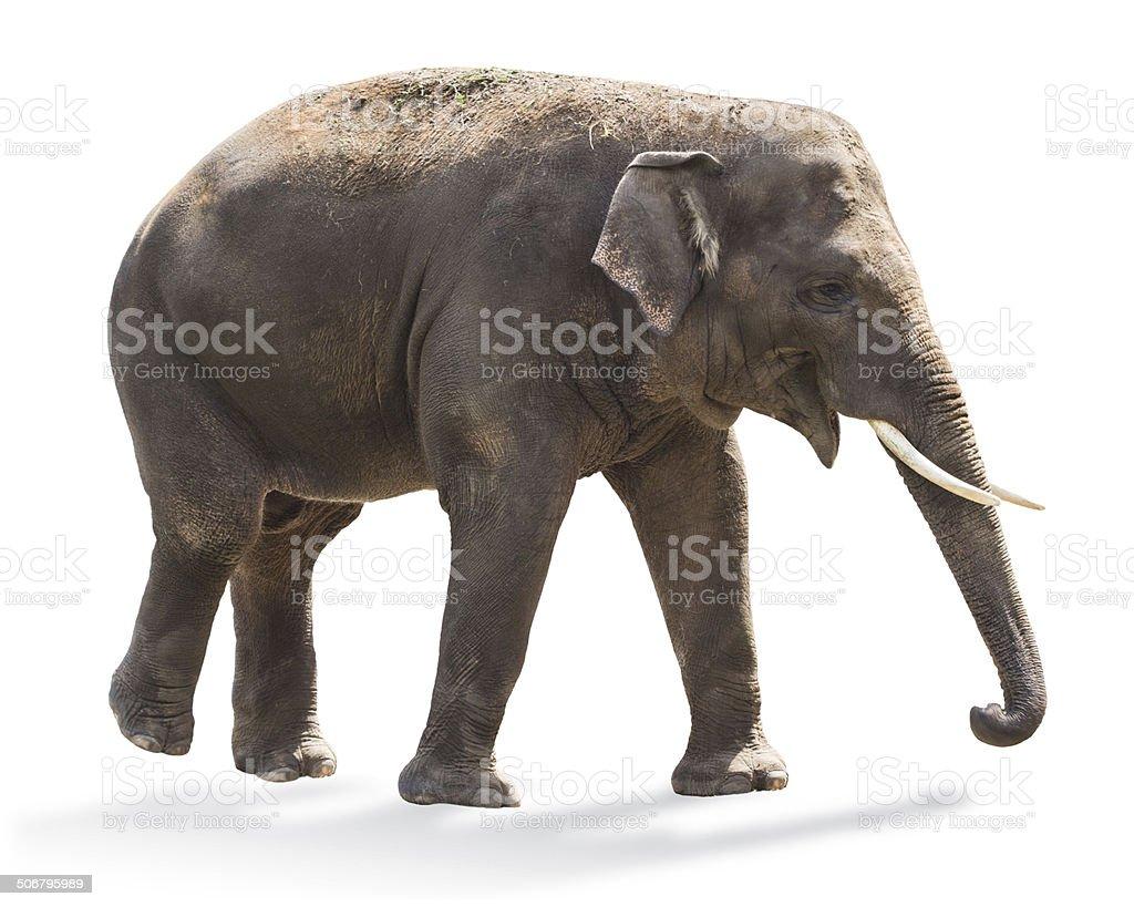 Elephant royalty-free stock photo