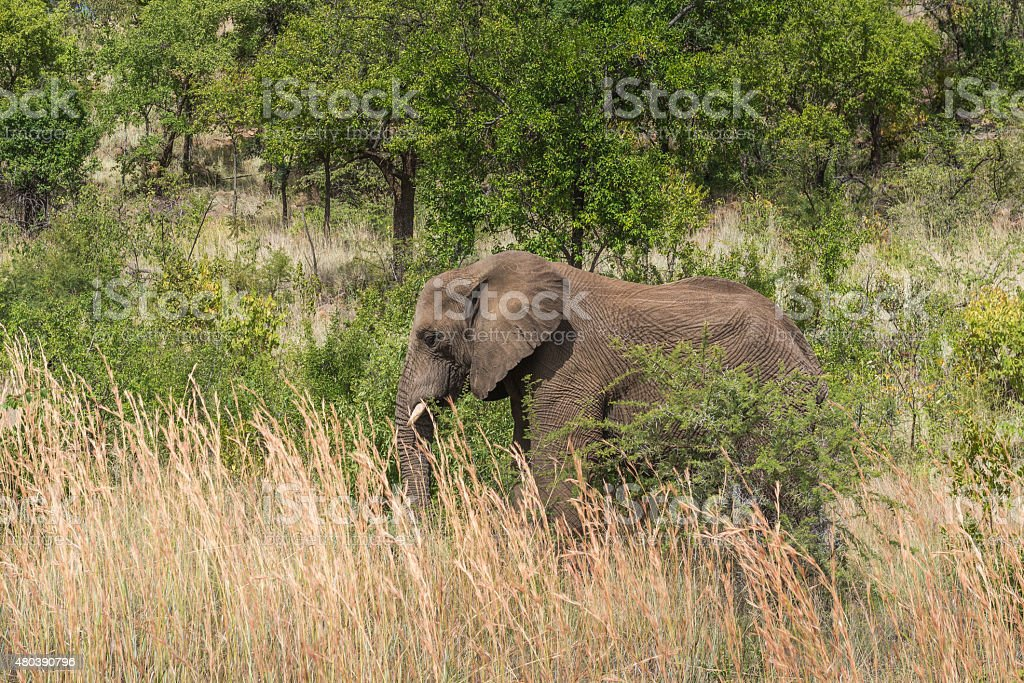 Elephant. Pilanesberg national park. South Africa. March 29, 2015 stock photo