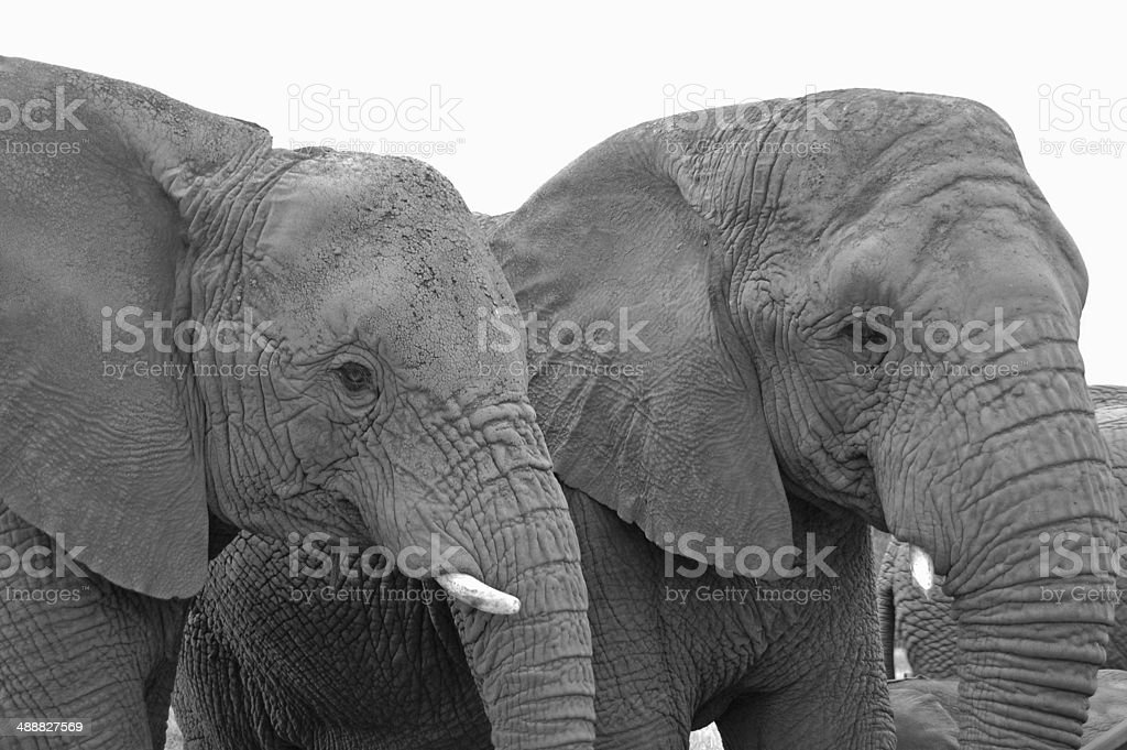 elephant portrait stock photo