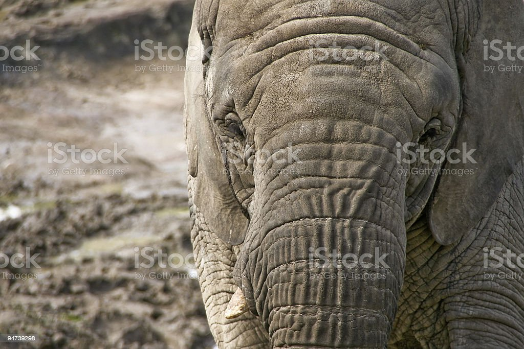 Elephant Portrait royalty-free stock photo