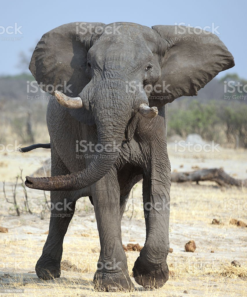 Elephant ready to charge in Botswana, Africa stock photo