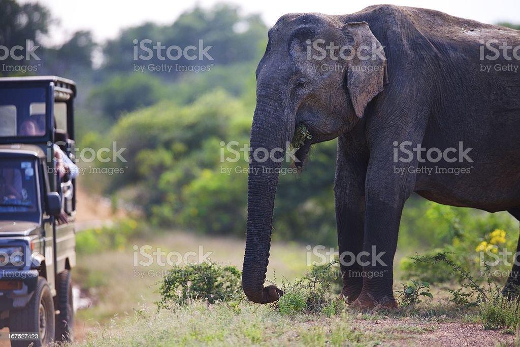 Elephant safari Sri Lanka royalty-free stock photo