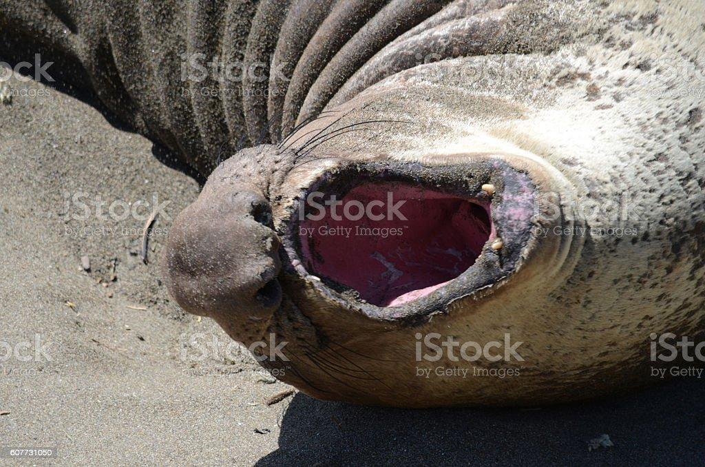 Elephant Seal Close Up stock photo