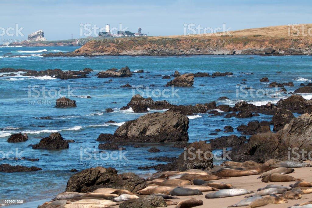 Elephant Seal Colony at Piedras Blancas lighthouse north of San Simeon on the Central Coast of California USA stock photo
