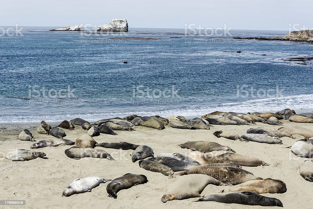 elephant seal colony royalty-free stock photo