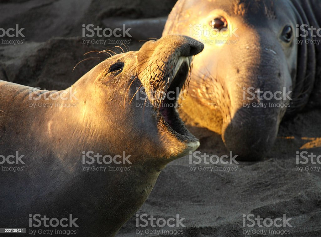 Elephant Seal Female Calling In Front Of Male stock photo