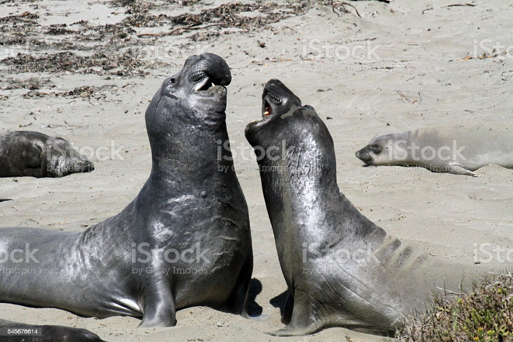 Elephant Seal Fight stock photo