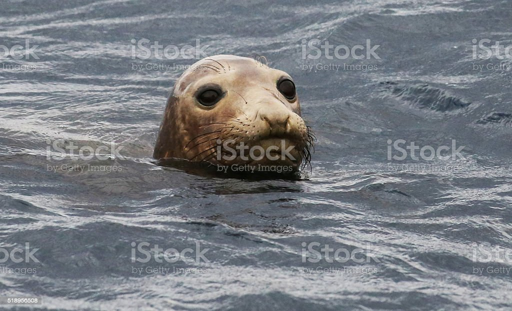 Elephant Seal In Pacific Ocean stock photo