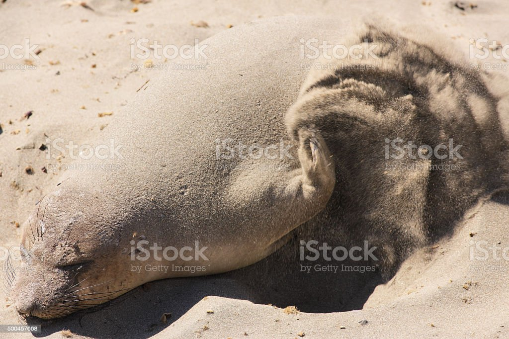 Elephant Seal Mirounga angustirostris Flipping Sand stock photo