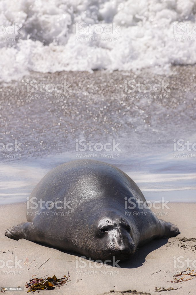 Elephant Seal Mirounga angustirostris stock photo