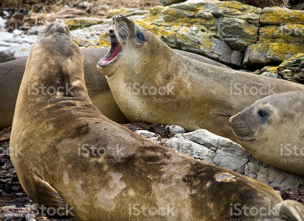 Elephant Seal on Carcass Island in the Falkland Islands stock photo