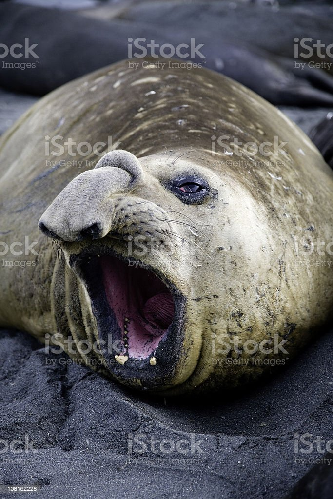 Elephant Seal Opening Mouth stock photo