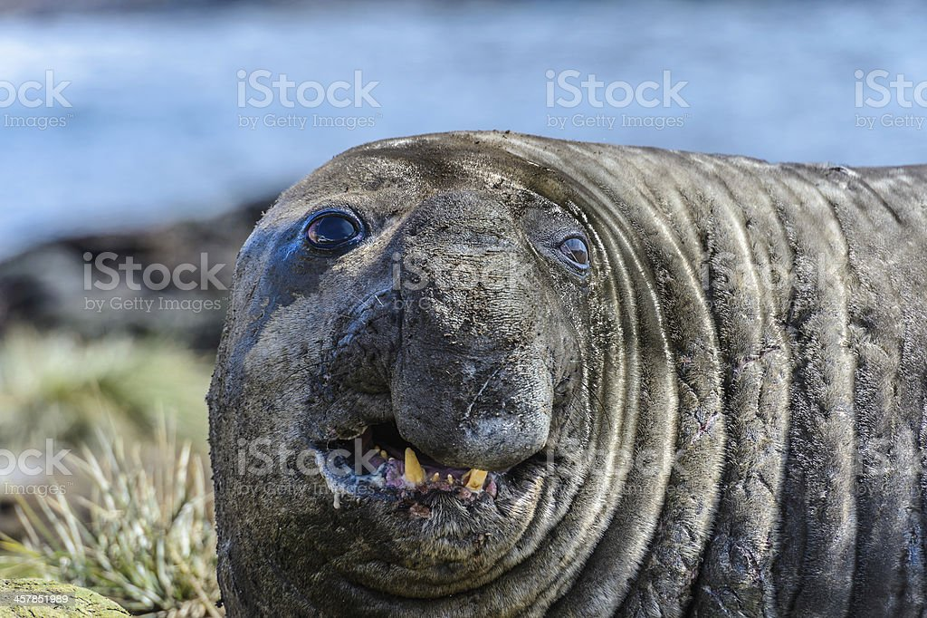 Elephant seal royalty-free stock photo