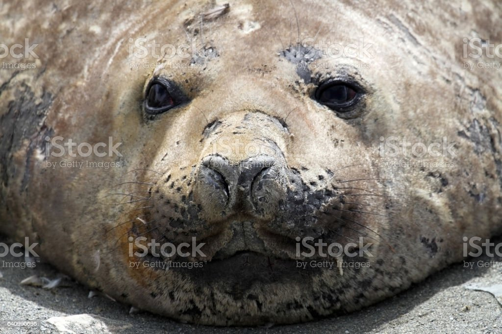 Elephant Seal stock photo