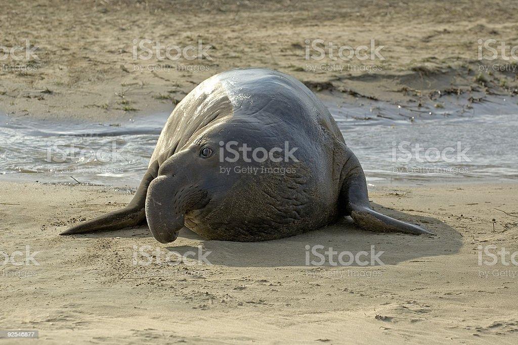 Elefante marino-Profilo foto stock royalty-free