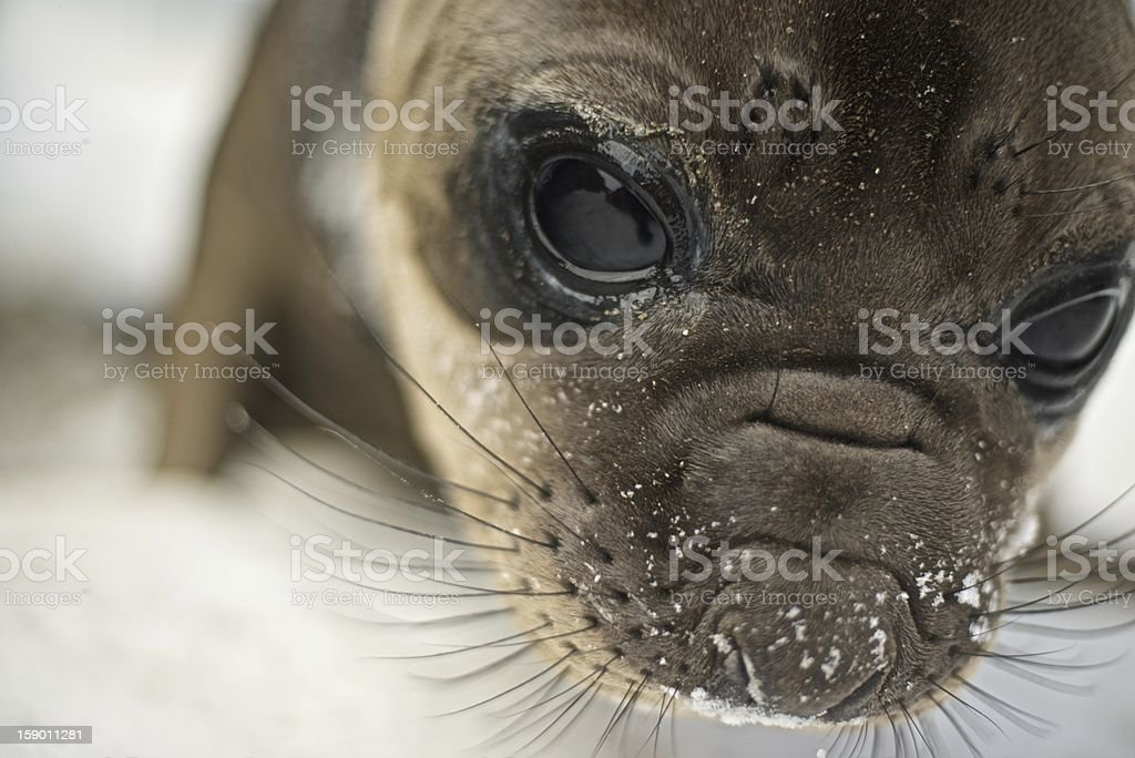 Elephant Seal Pup, Rescued royalty-free stock photo