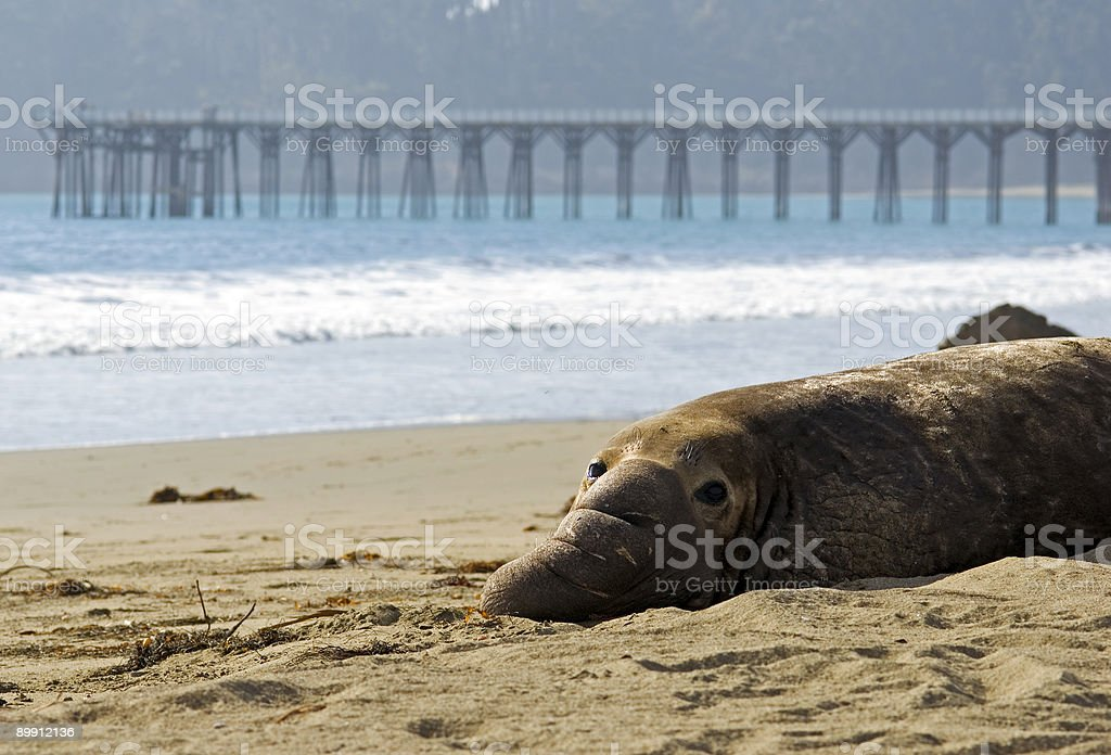 elephant seal relaxing stock photo