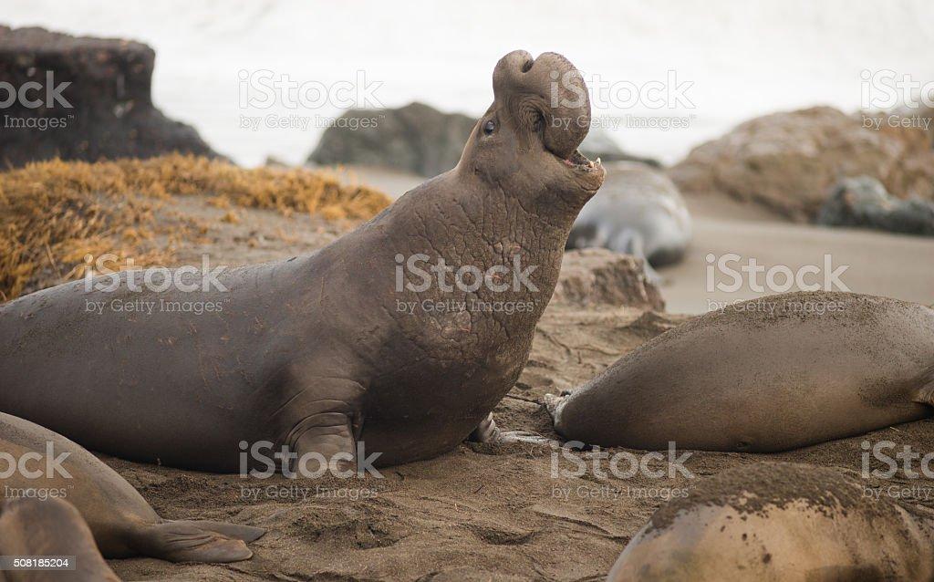 Elephant Seal Wild Mammal Rears Back to Sound Alarm stock photo