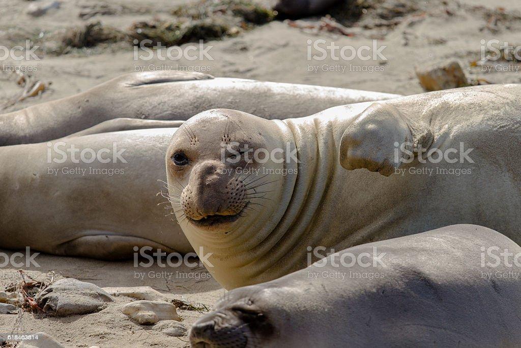 Elephant seal winking stock photo