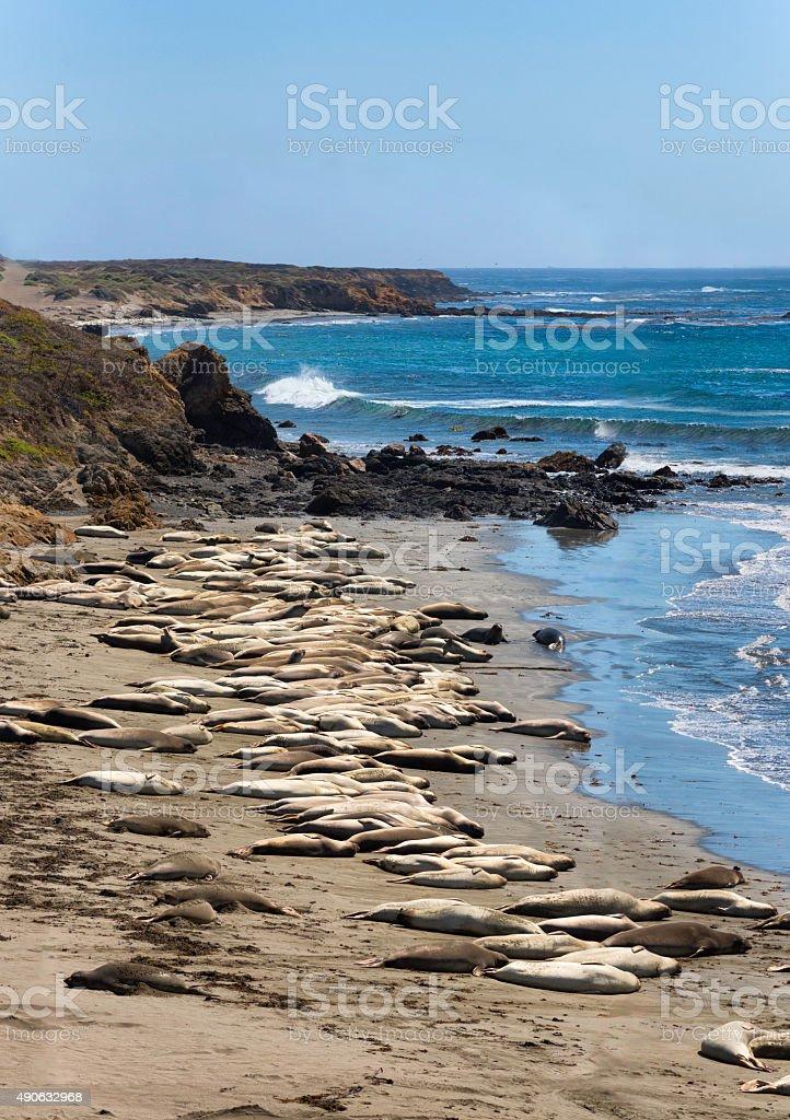 Elephant Seals (Mirounga angustinostris) along California Coast near San Simeon stock photo