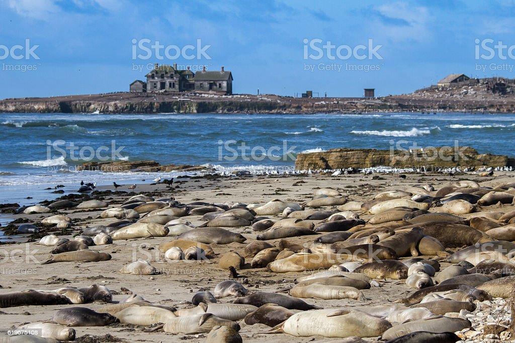 Elephant seals at Ano Nuevo State Park stock photo