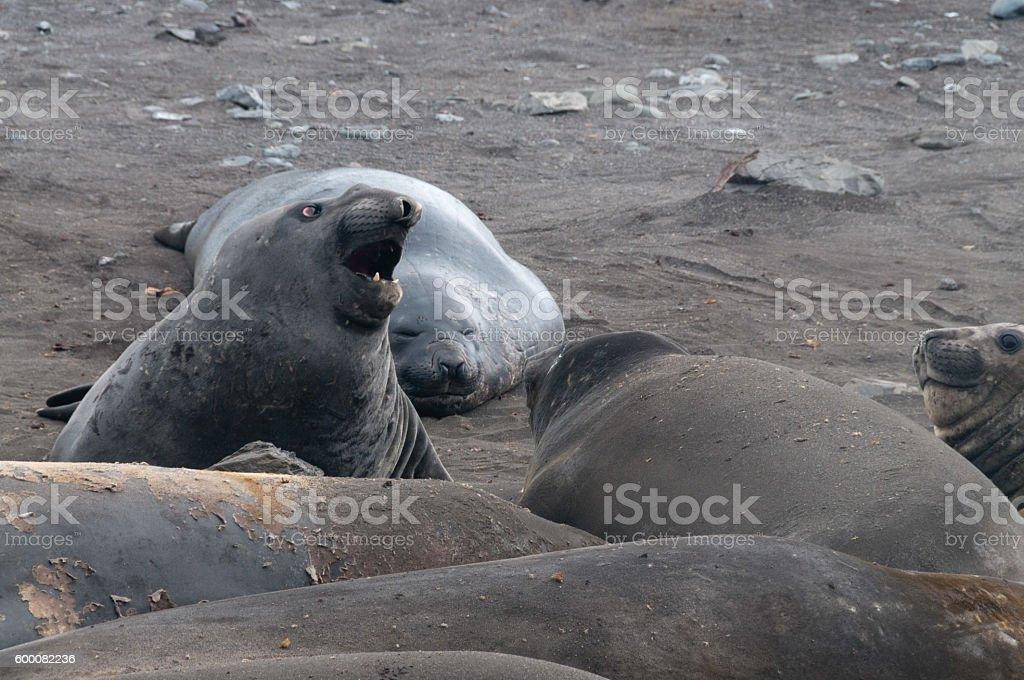Elephant Seals at Hannah Point stock photo