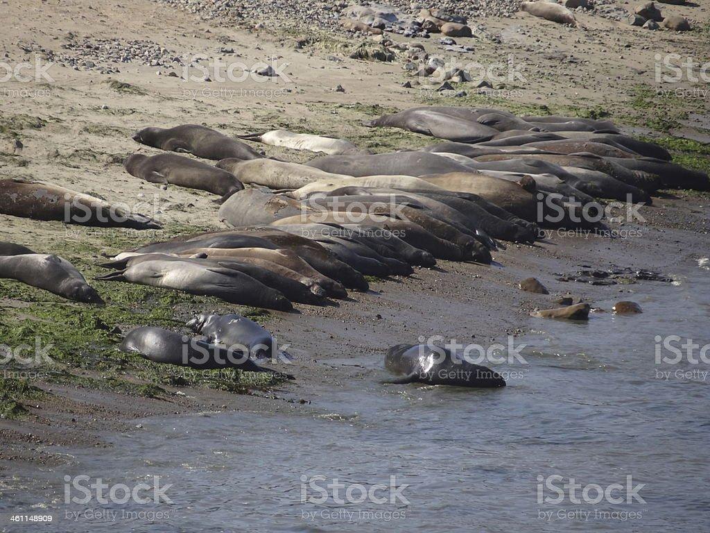 Elephant Seals Beach stock photo