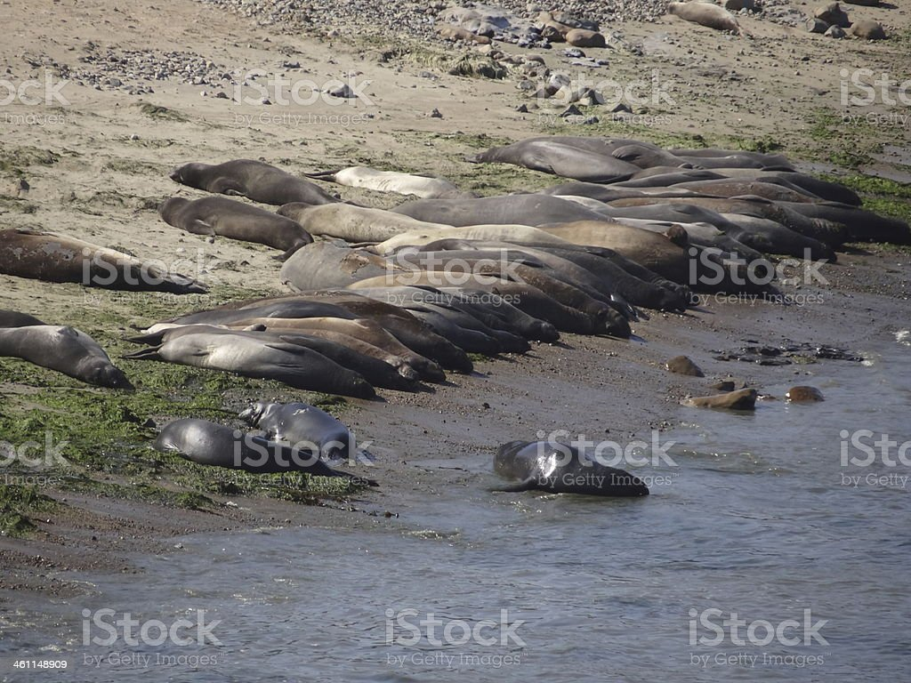 Elephant Seals Beach stock photo