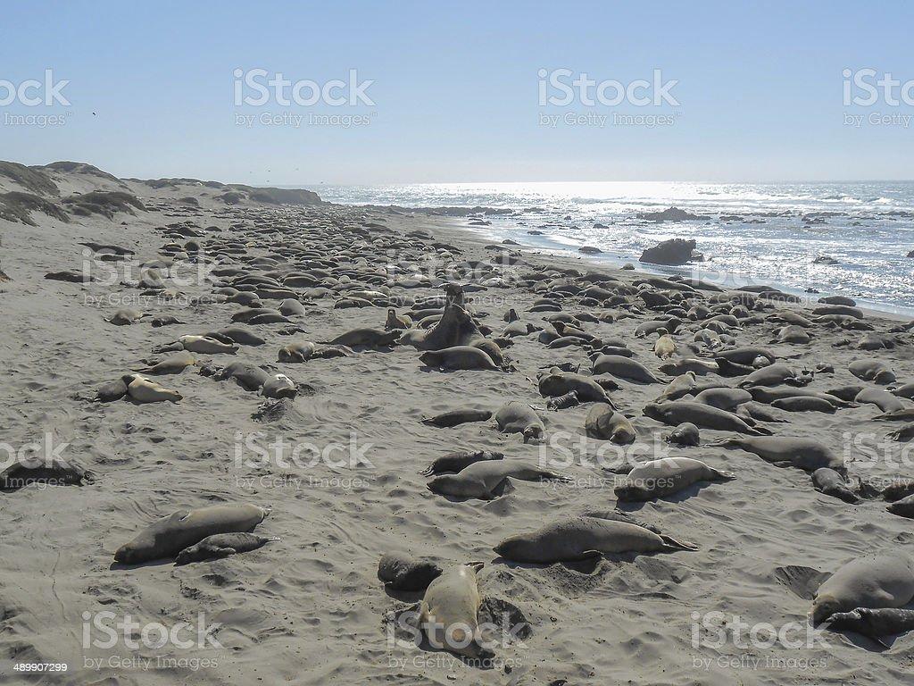 Elephant seals colony royalty-free stock photo