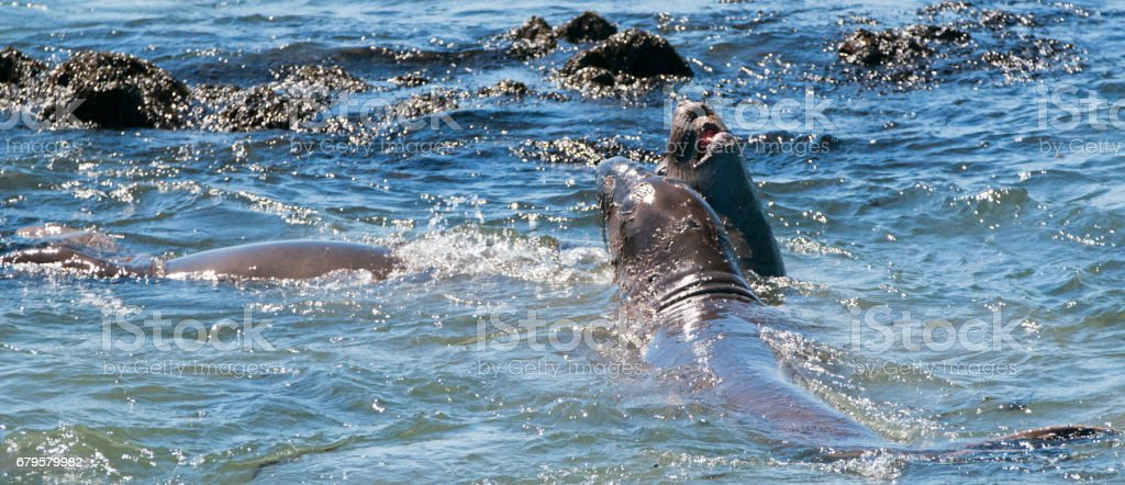 Elephant Seals fighting at the Piedras Blancas Elephant seal rookery on the Central Coast of California USA stock photo