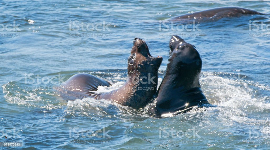 Elephant Seals fighting in the Pacific at the Piedras Blancas Elephant seal rookery on the Central Coast of California USA stock photo
