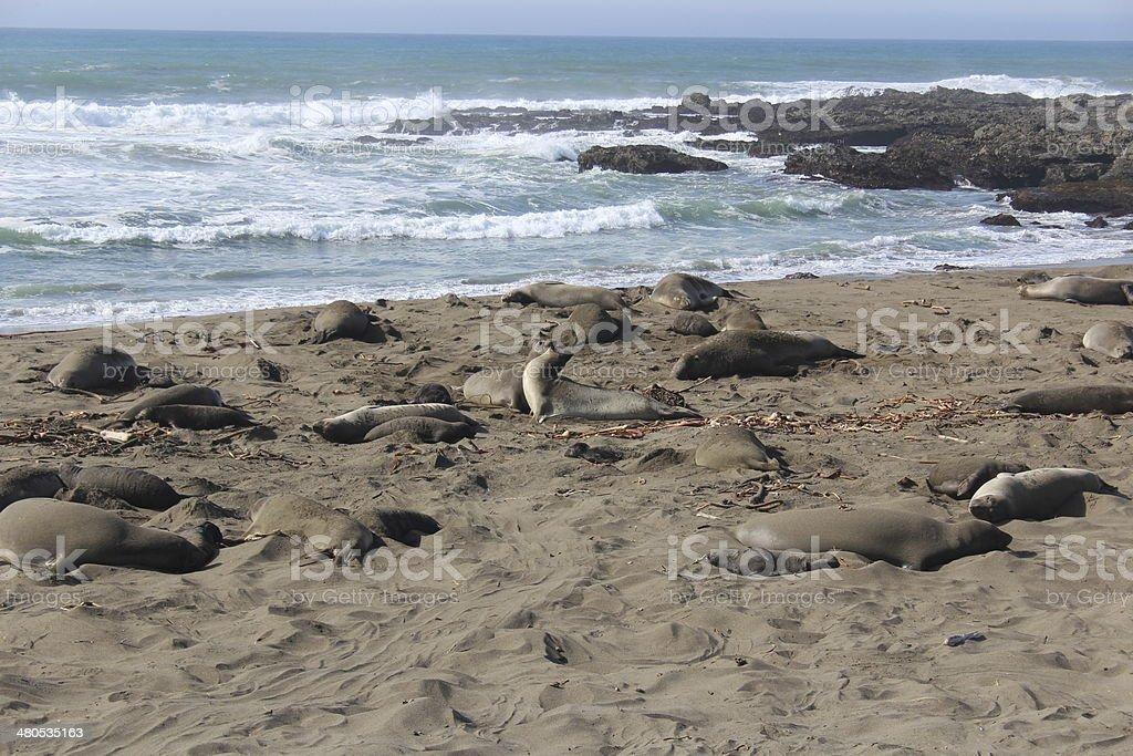 Elephant Seals Fighting on California Beach stock photo