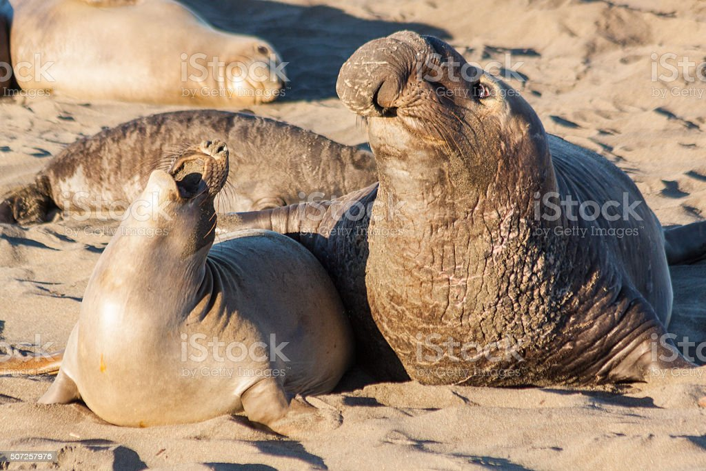 Elephant Seals Interacting stock photo
