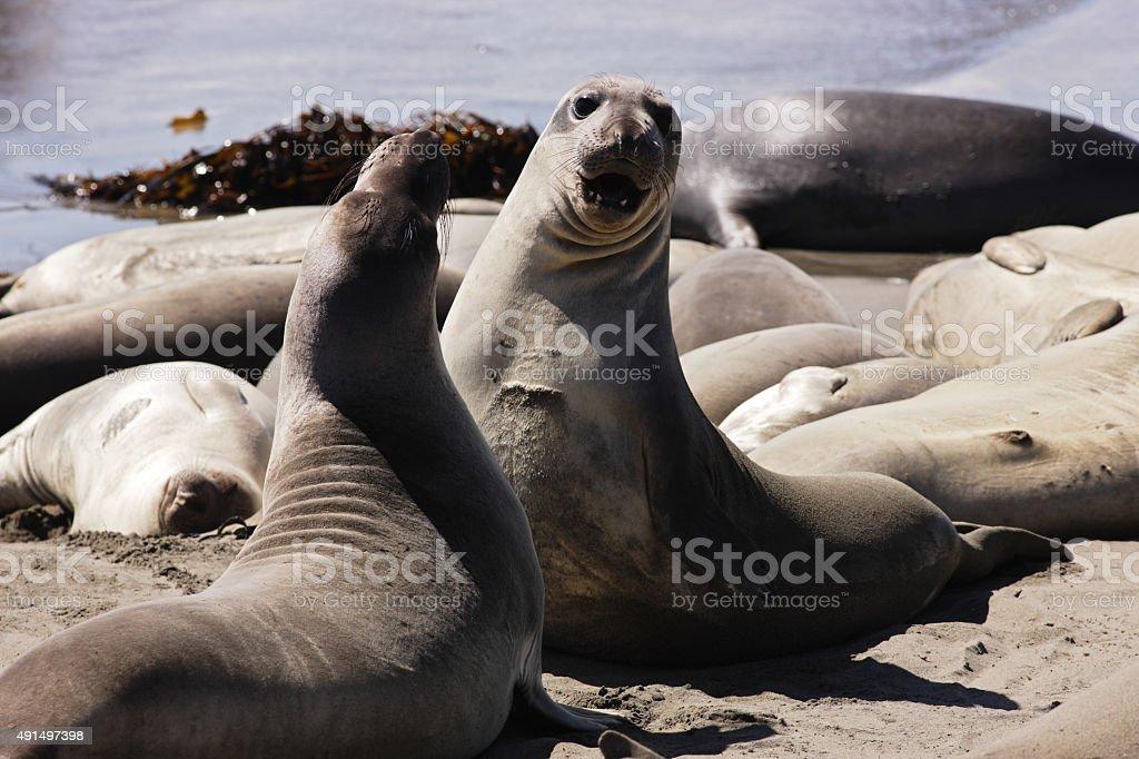 Elephant Seals Mirounga angustirostris Sparring stock photo