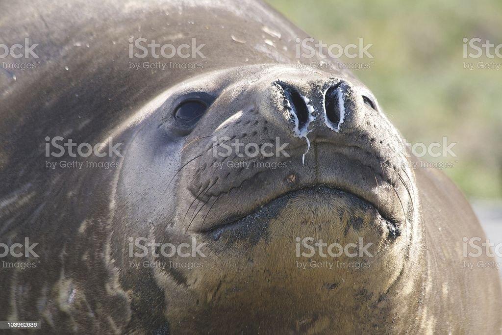 Elephant seal's nose stock photo