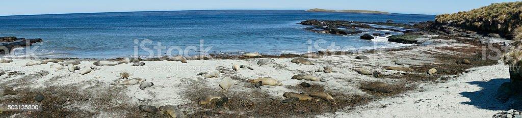 Elephant Seals on a Beach stock photo