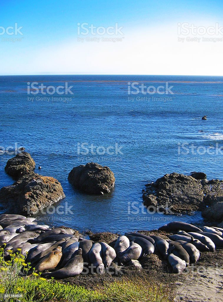 Elephant Seals on the Beach in CA stock photo