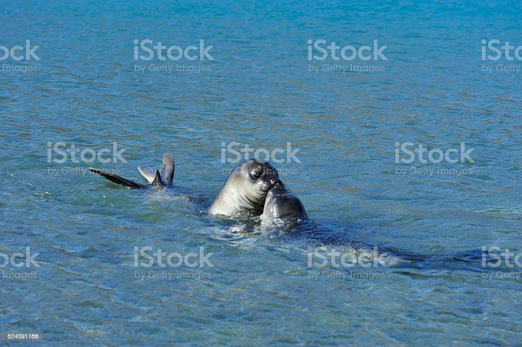 elephant seals pups stock photo