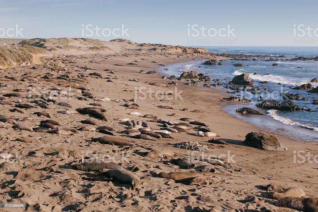 Elephant seals relax on the beach at Piedras Blancas Rookery stock photo