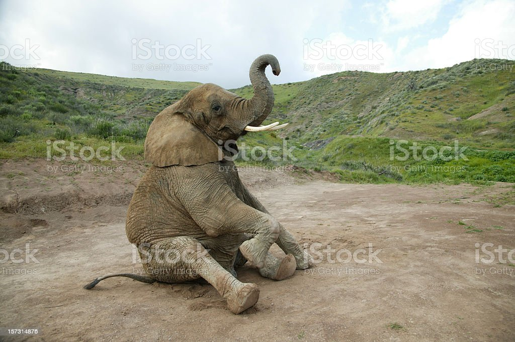 Elephant sitting stock photo