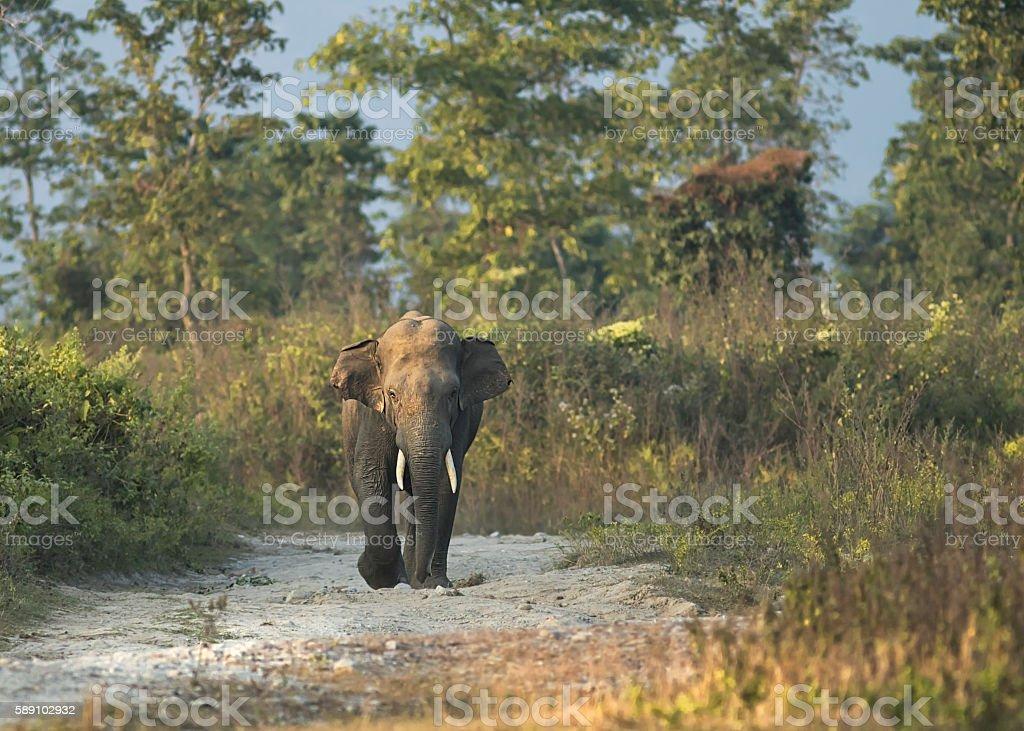 Elephant solo walk stock photo