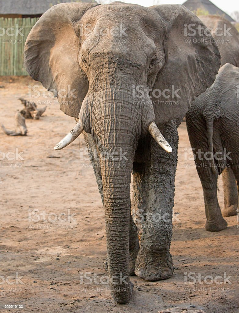 Elephant standing in camp in Hwange National Park stock photo