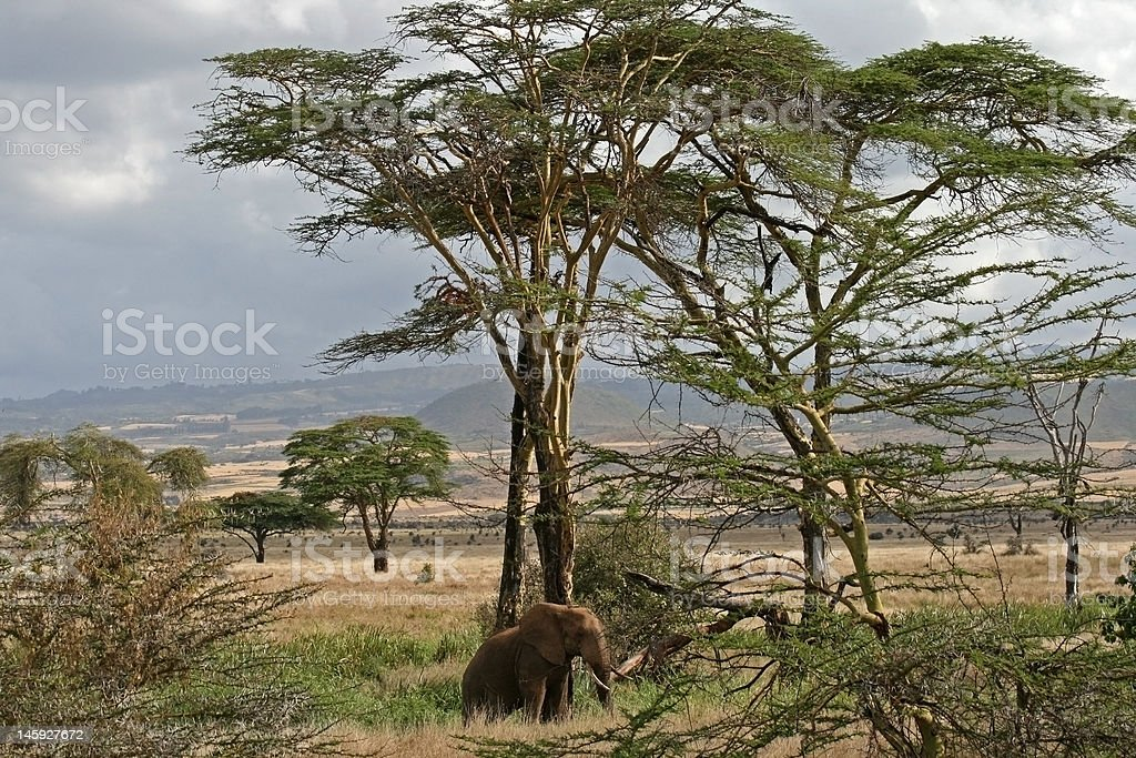 Elephant standing next to African trees royalty-free stock photo